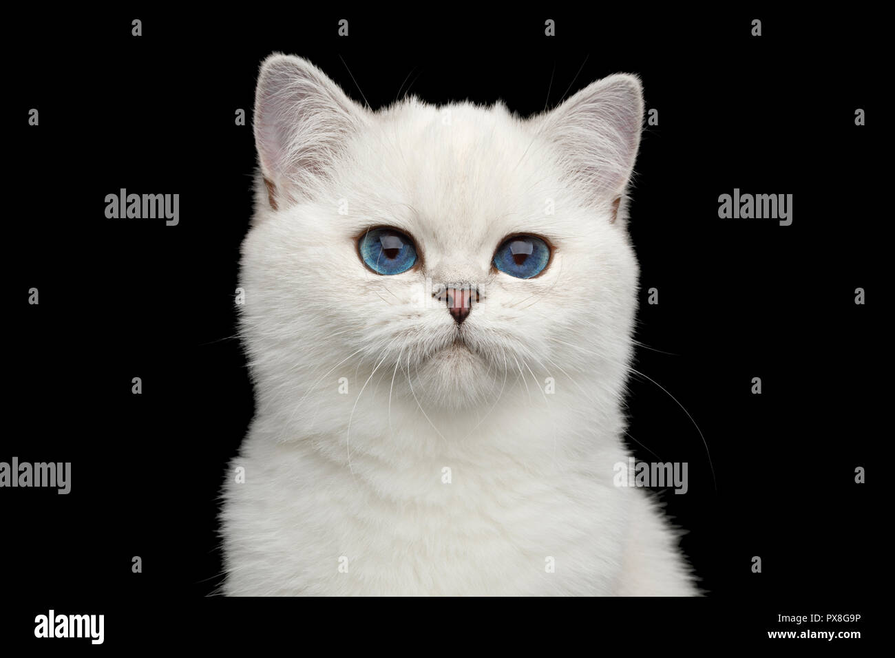 Portrait of British White Cat with adorable blue eyes on Isolated Black Background, front view - Stock Image