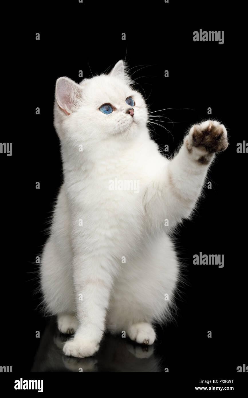 Playful British White Cat, with blue eyes, Sitting and catching paw with toy on Isolated Black Background, front view - Stock Image