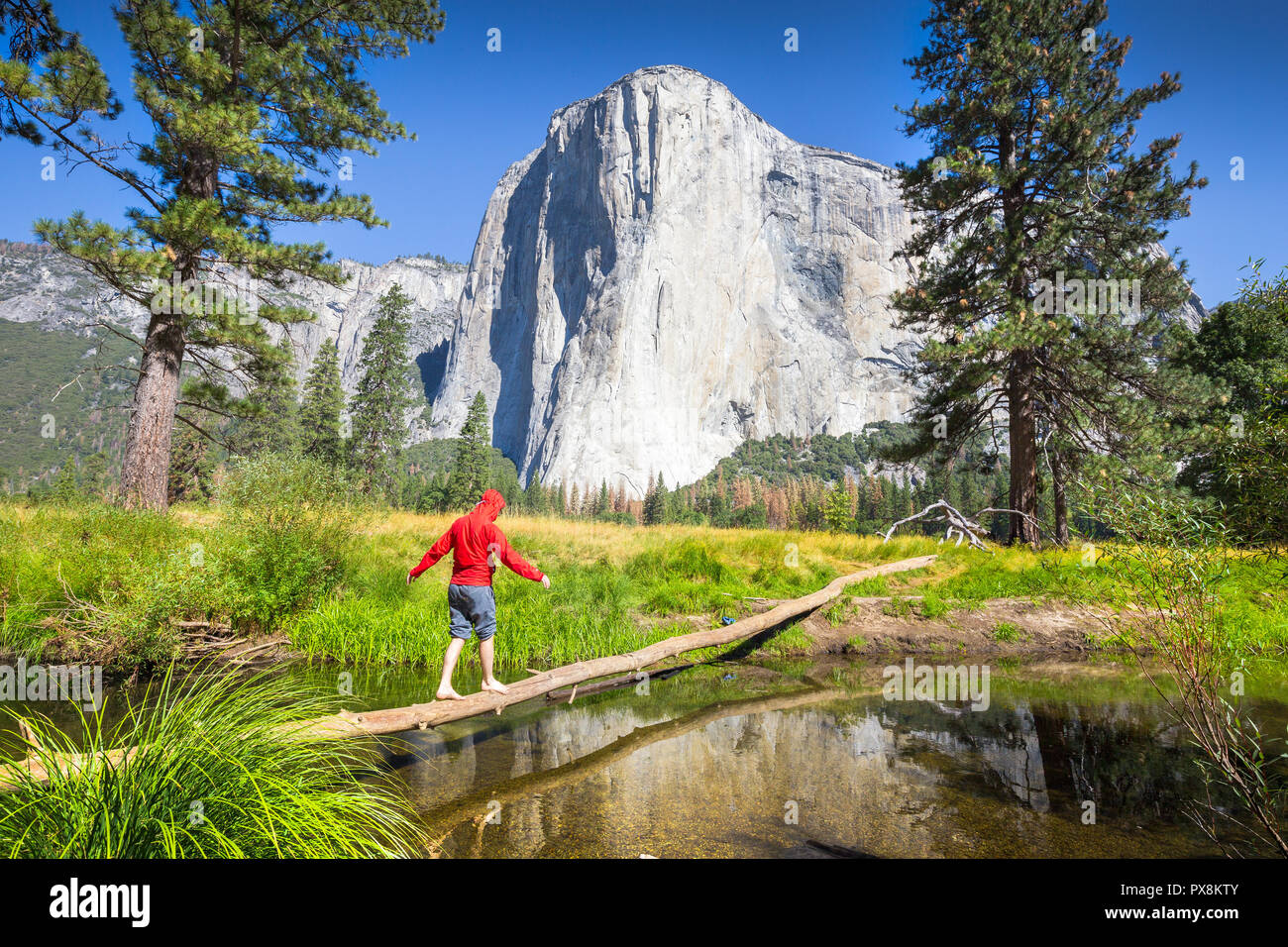A hiker is balancing on a fallen tree over a tributary of Merced river in front of famous El Capitan rock climbing summit in scenic Yosemite Valley - Stock Image