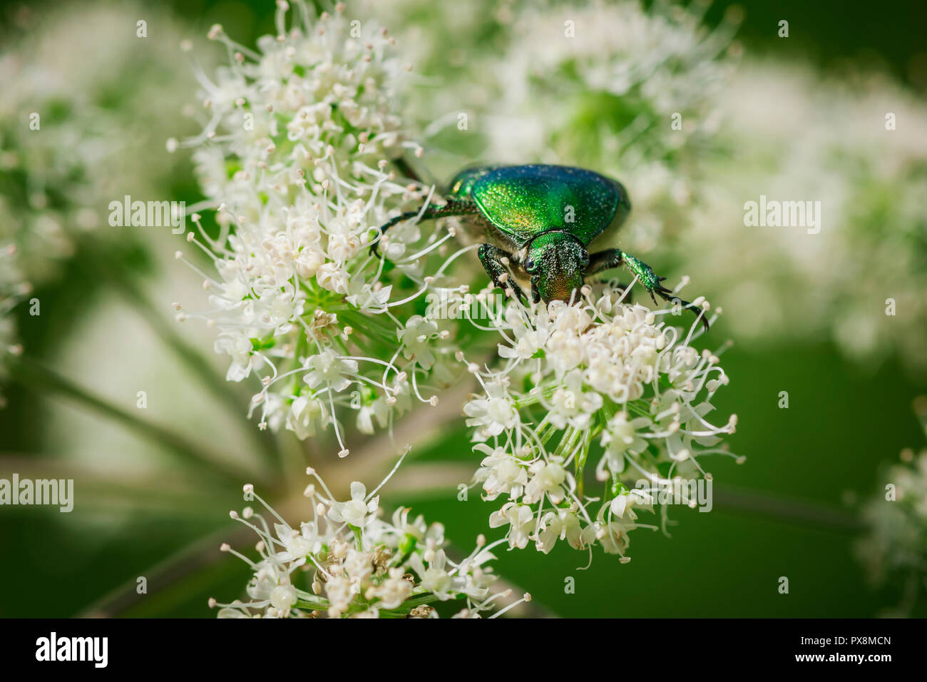 Frontal macro view of a gold-glittering rose beetle (lat: Cetonia aurata) on a meadow bear-claw flower (lat .: Heracleum sphondylium) eating on a summ - Stock Image