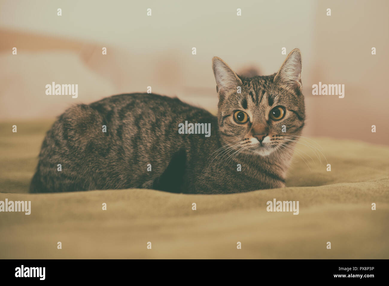 Photo of beautiful young cat lying on the bed. - Stock Image