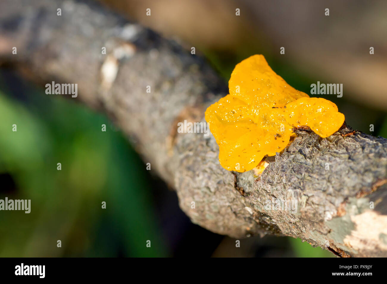 Yellow Brain Fungus (tremella mesenterica),close up of the fruiting body growing from the branch of a fallen tree. - Stock Image