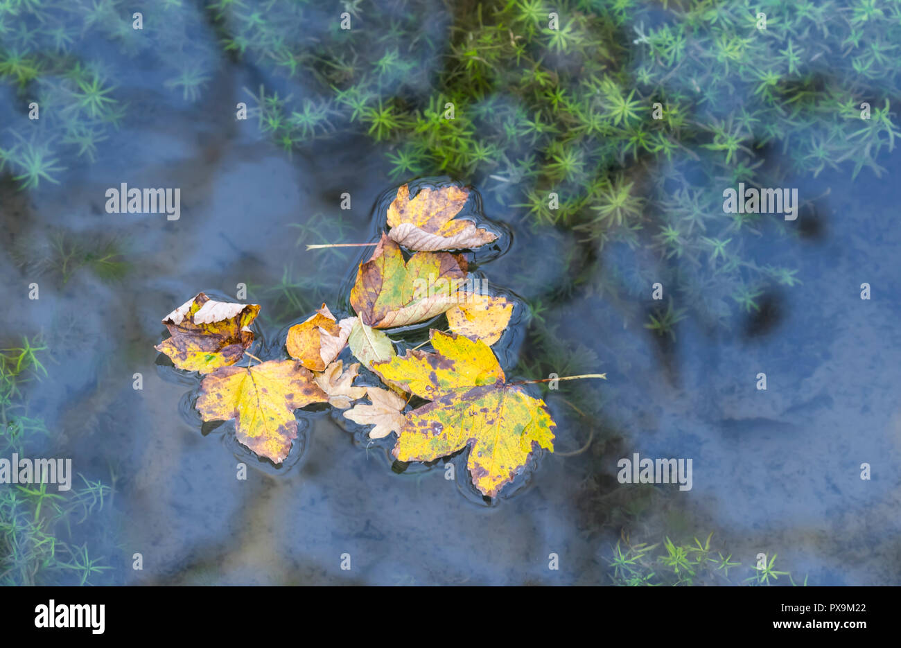 Several dead fallen leaves floating in water after with reflecting sky at the start of Autumn in the UK. Autumn colours concept. - Stock Image