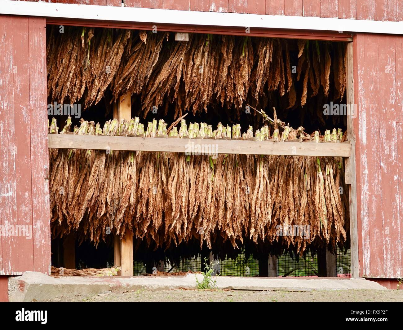 Tobacco leaves hanging upside down to dry in an Amish barn, Clinton County, Pennsylvania, USA. - Stock Image