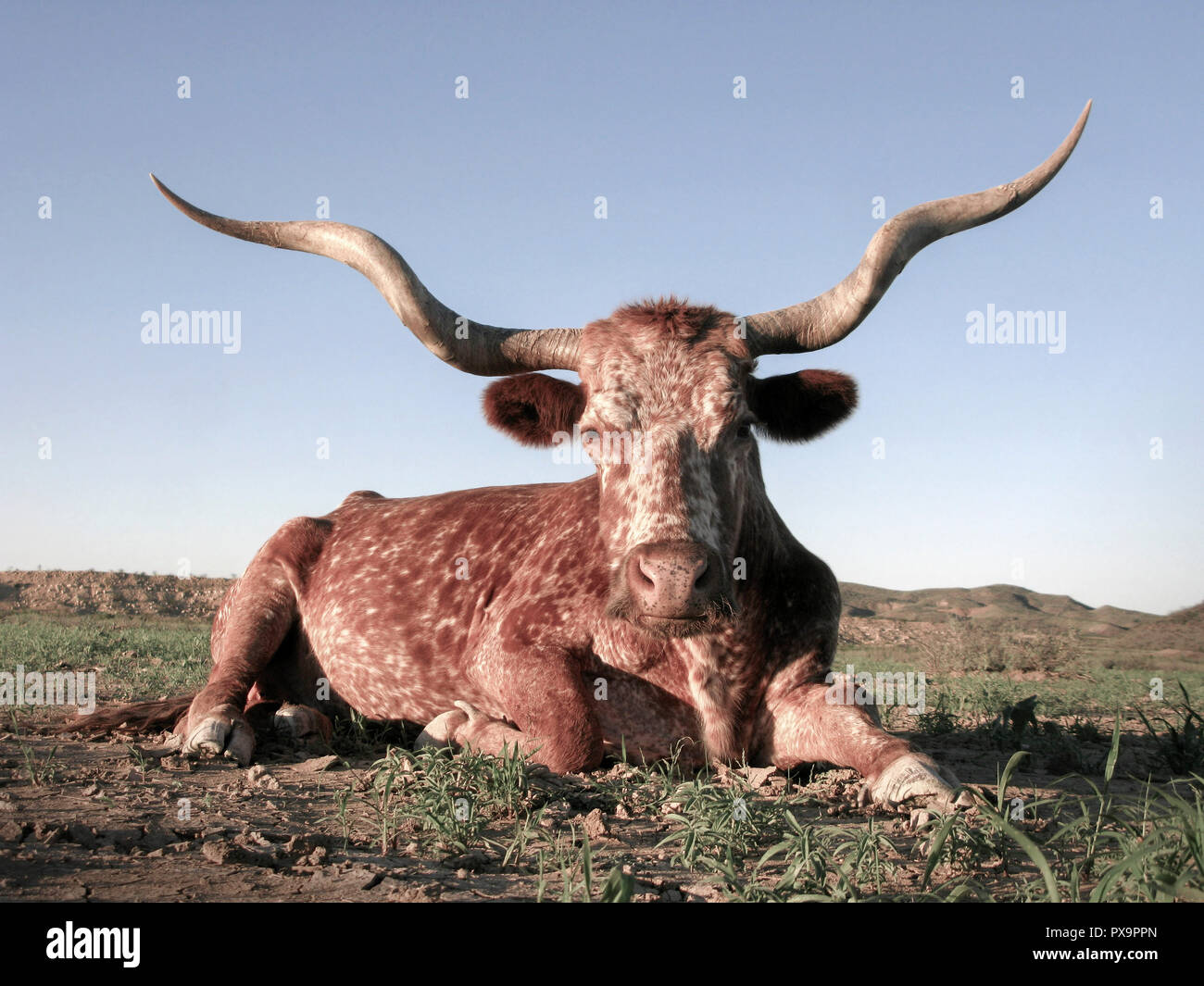 Young Texas Longhorn cow resting on a ranch in Southwest Texas. - Stock Image