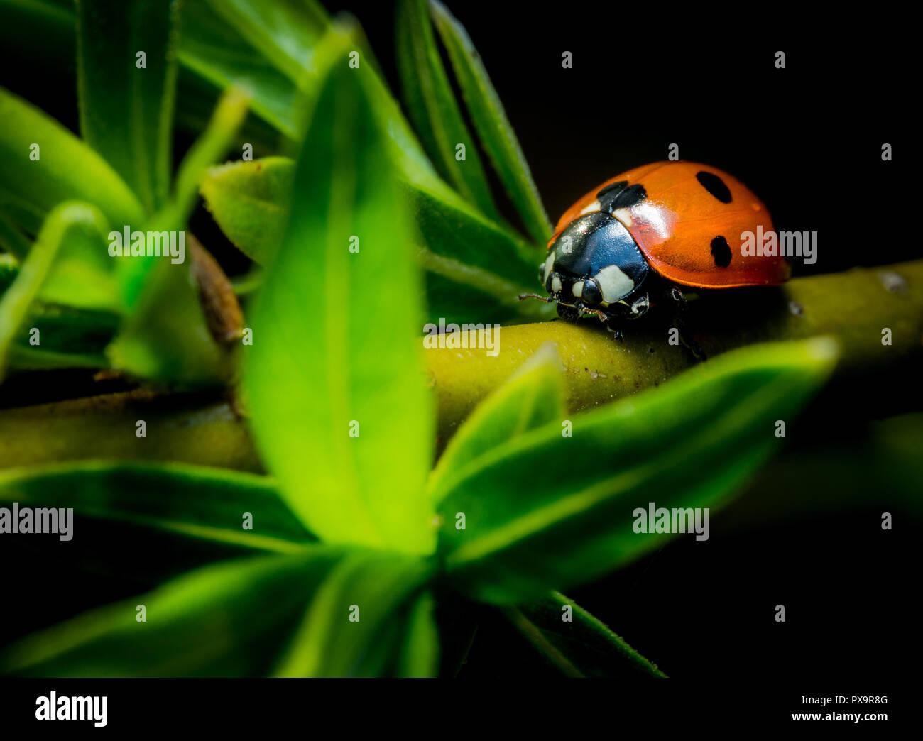 Beautiful ladybug on green twig macro photo - Stock Image