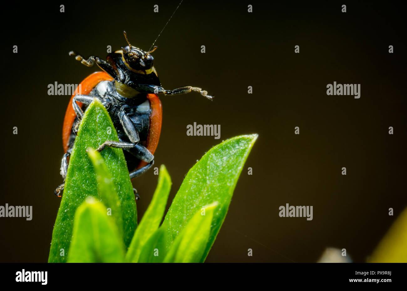 Beautiful ladybug open arms green twig macro photo - Stock Image