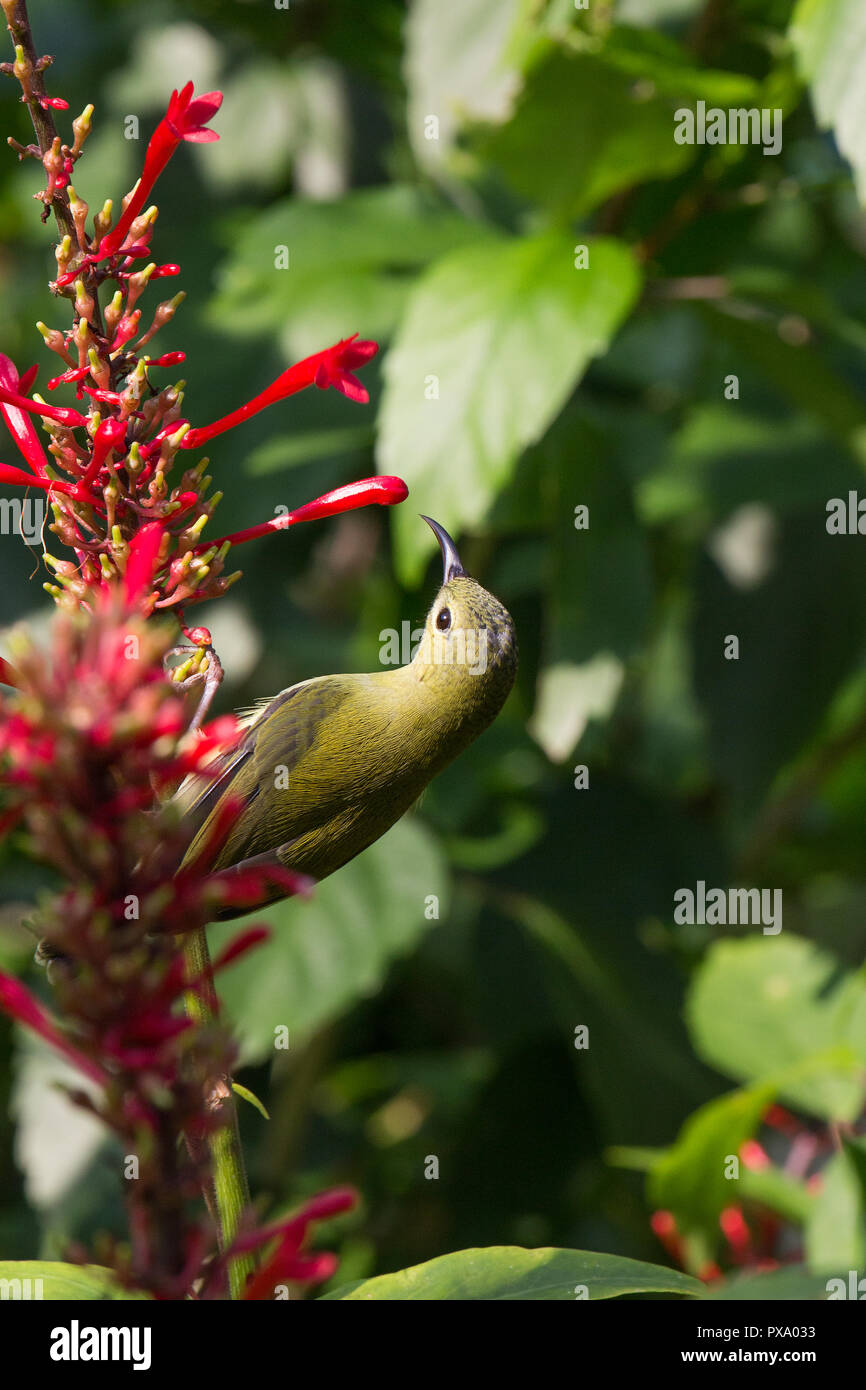 Female Plain-throated Sunbird in hong kong park. Anthreptes malacensis, feeding on nectar on a red flower. - Stock Image
