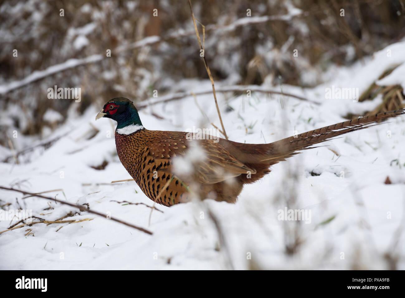 Fasan, Jagdfasan, Jagd-Fasan, Männchen im Schnee, Hahn, Phasianus colchicus, common pheasant, pheasant, male, ring-necked pheasant, Le Faisan de Colch - Stock Image