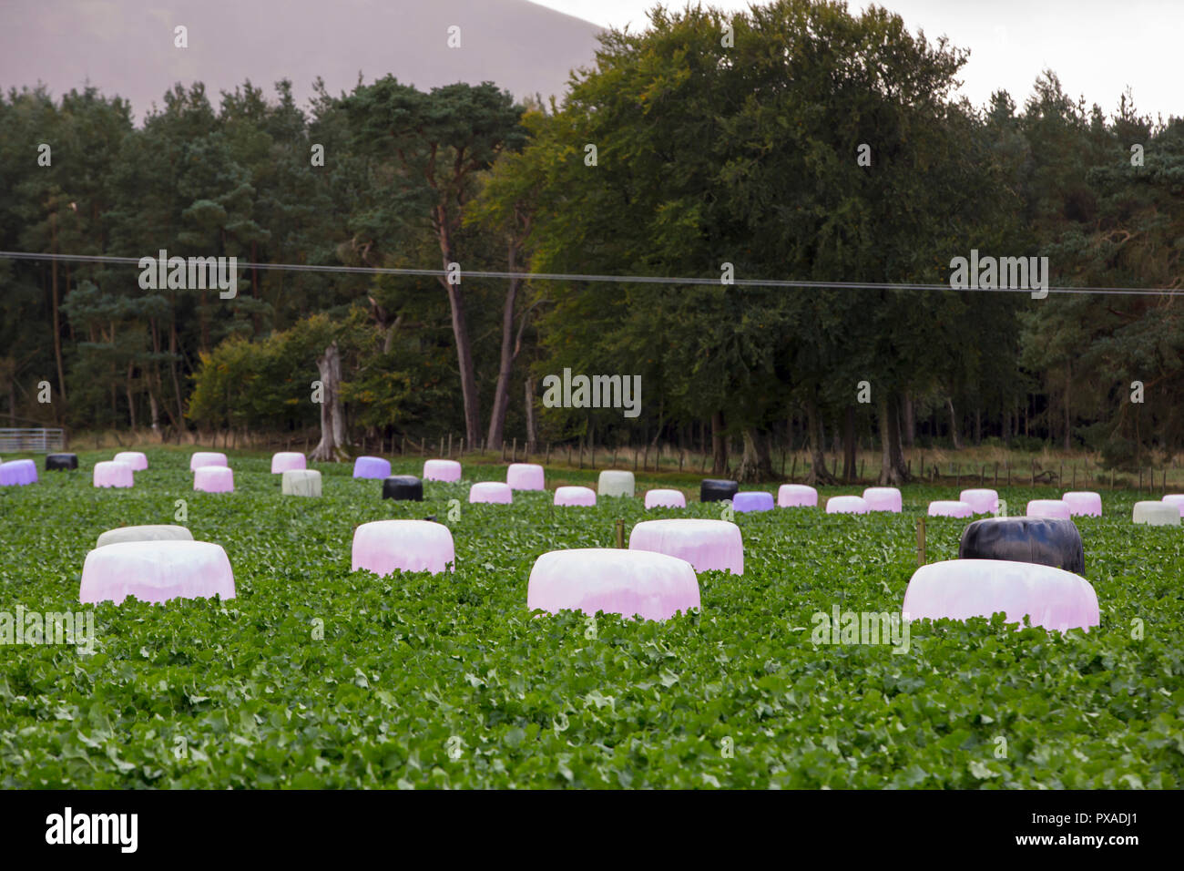 Pink bales on a famr in South Lanarkshire, Scotland, UK. - Stock Image