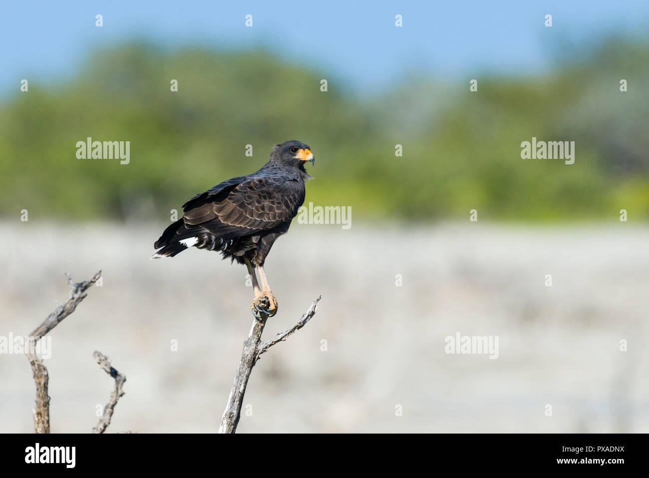 A Cuban Black Hawk (Buteogallus gundlachii), perched, hunting. Cuba - Stock Image