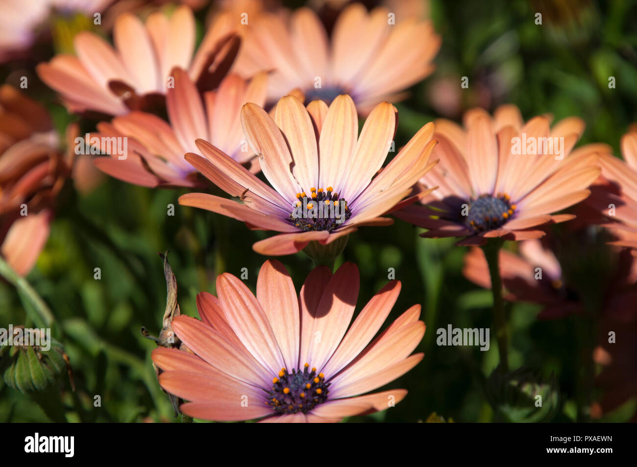 Brown Daisy Flowers – Download in under 30 seconds.