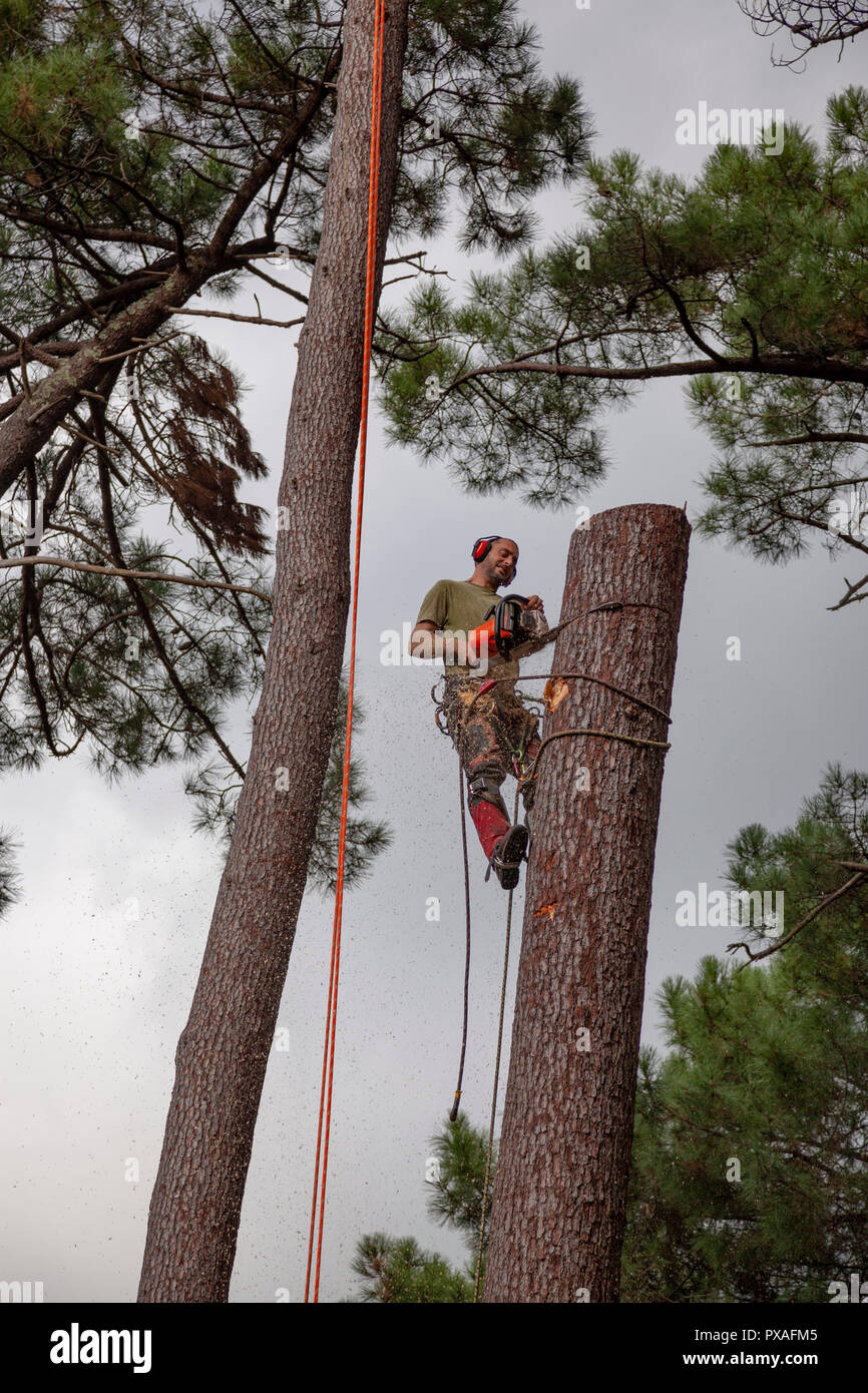 Professional lumberjack into action near a house. The felling of high pine trees necessitates the cutting down of their boles from the top downwards. Stock Photo