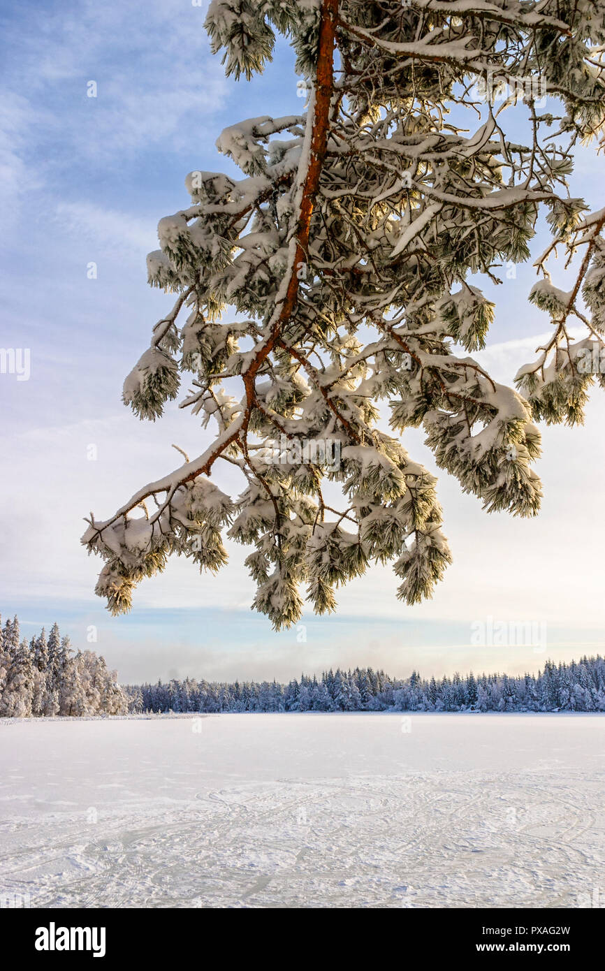 Pine tree branch at a lake with ice in the winter - Stock Image