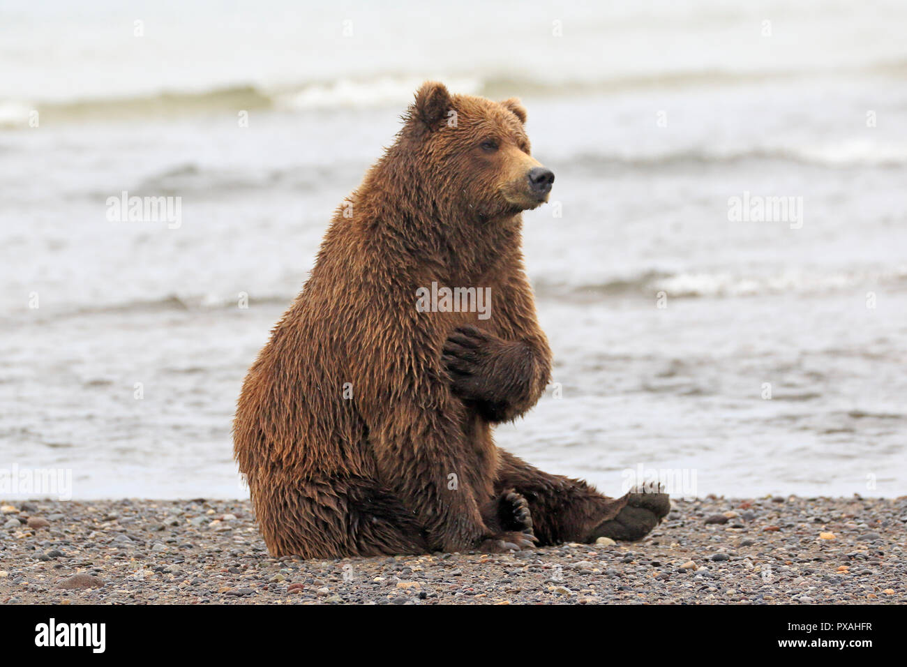Grizzly bear sitting up - photo#31