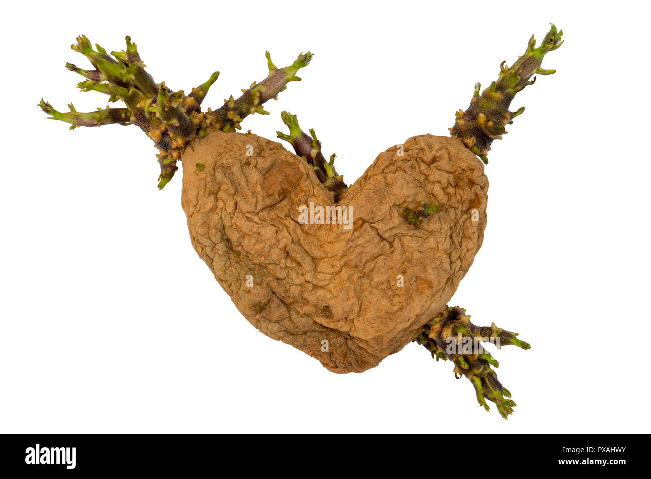 Heart in the form of a dried potato. - Stock Image