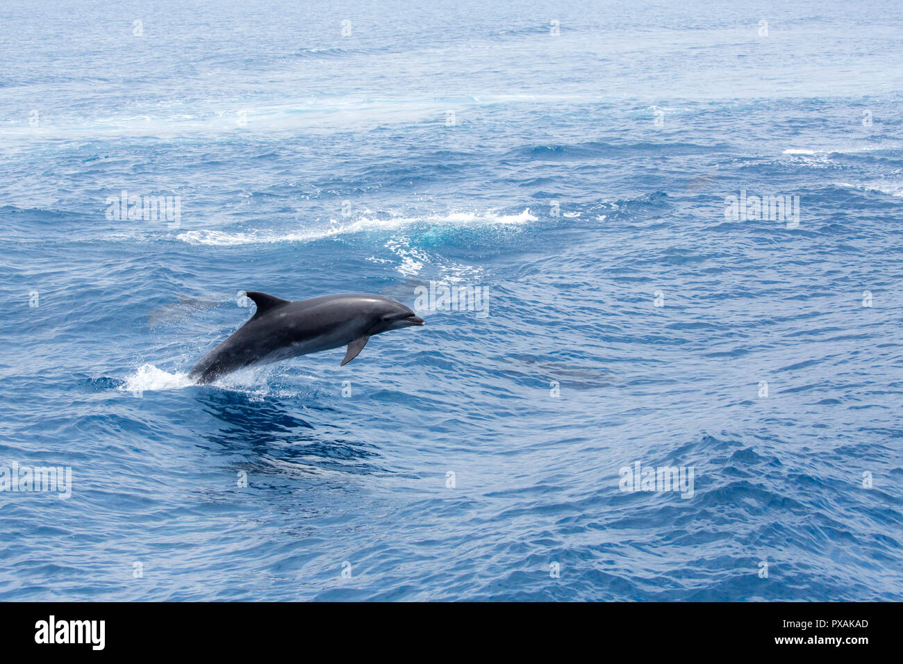 Bottlenose Dolphin (Tursiops truncates) breaching freely off the port of Hualien on the east coast of Taiwan, in the Pacific Ocean. - Stock Image