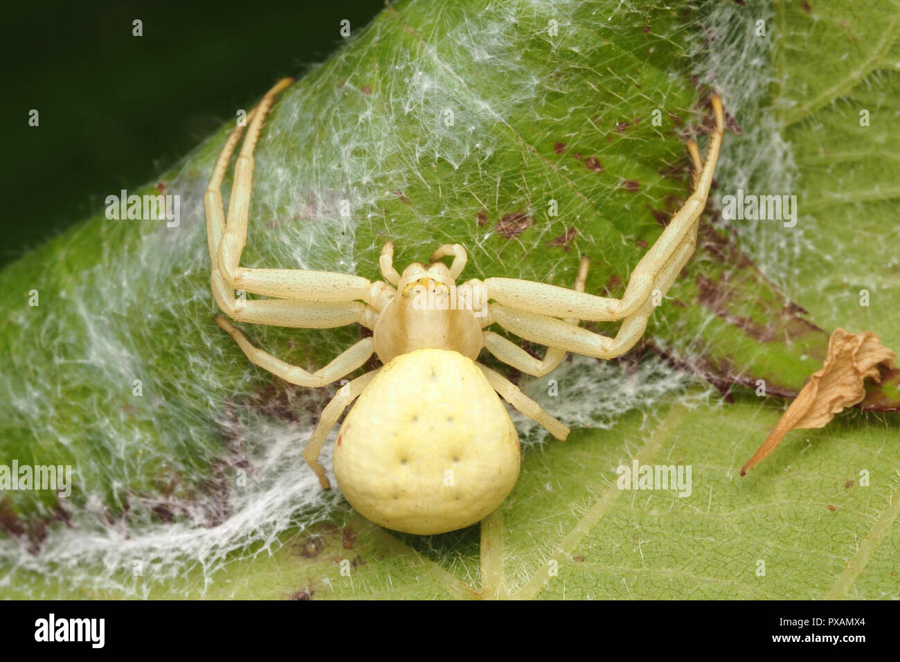 Female Crab spider (Misumena vatia) guarding her eggs which are inside rolled up leaf. Tipperary, Ireland - Stock Image
