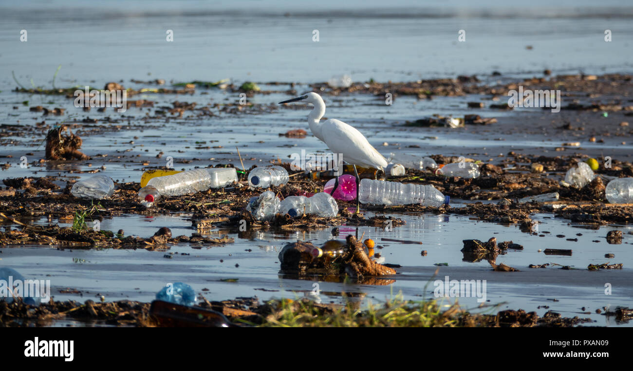 Egretta garzetta walking between many plastic bottles and garbage - Stock Image