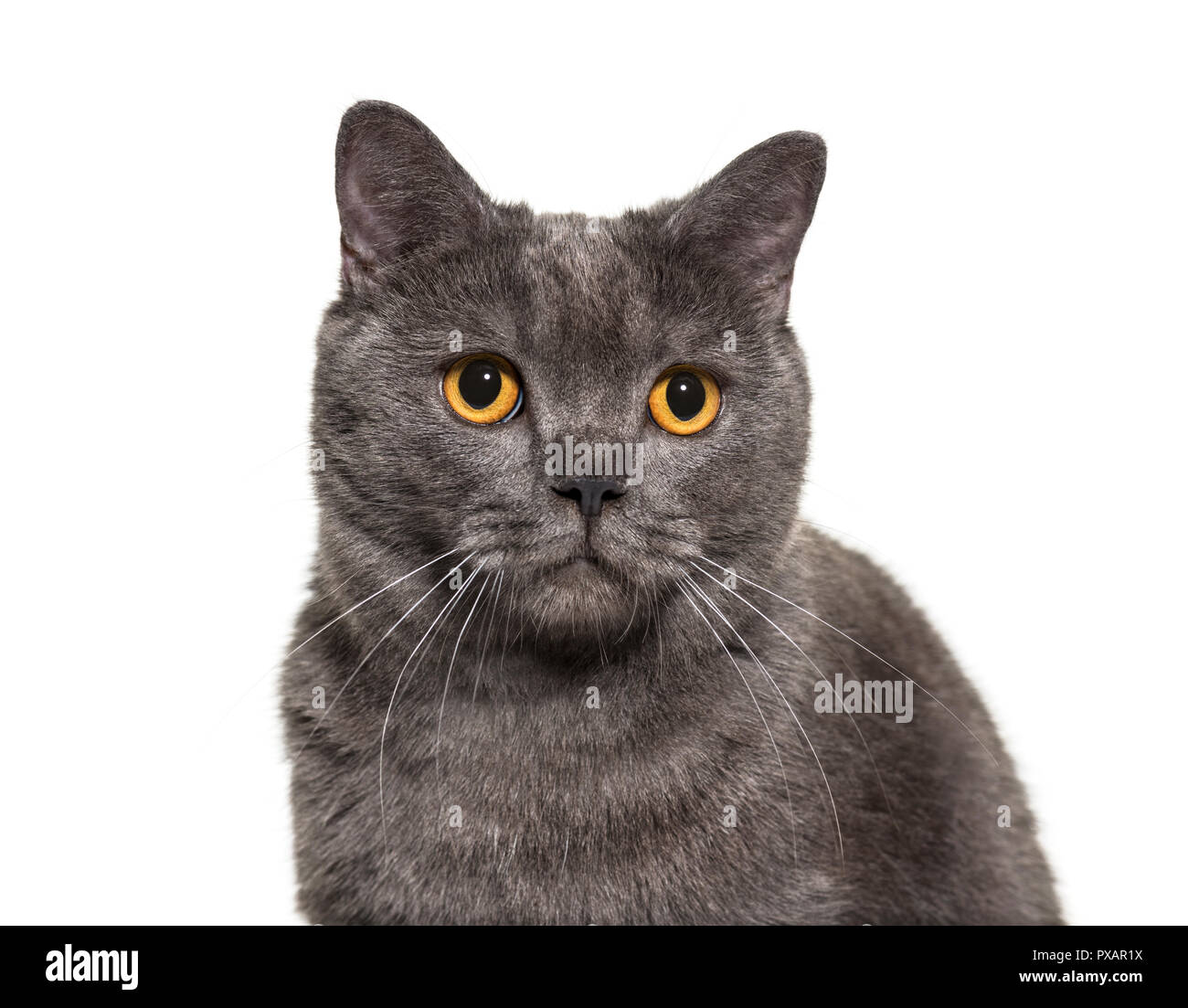 British Shorthair, 4 years old, in front of white background - Stock Image