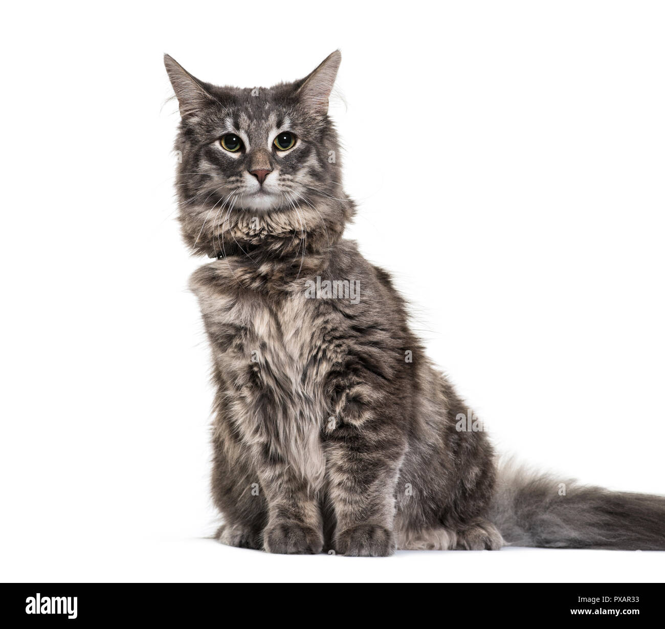Norwegian Forest Cat, 9 months old, in front of white background - Stock Image