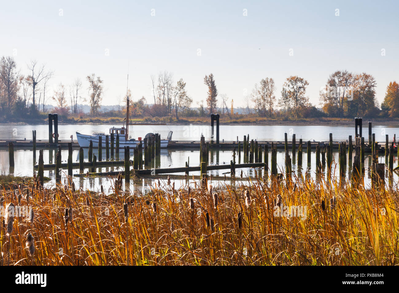 Autumn colours in the reeds by the historic Britannia Shipyard in Steveston British Columbia - Stock Image