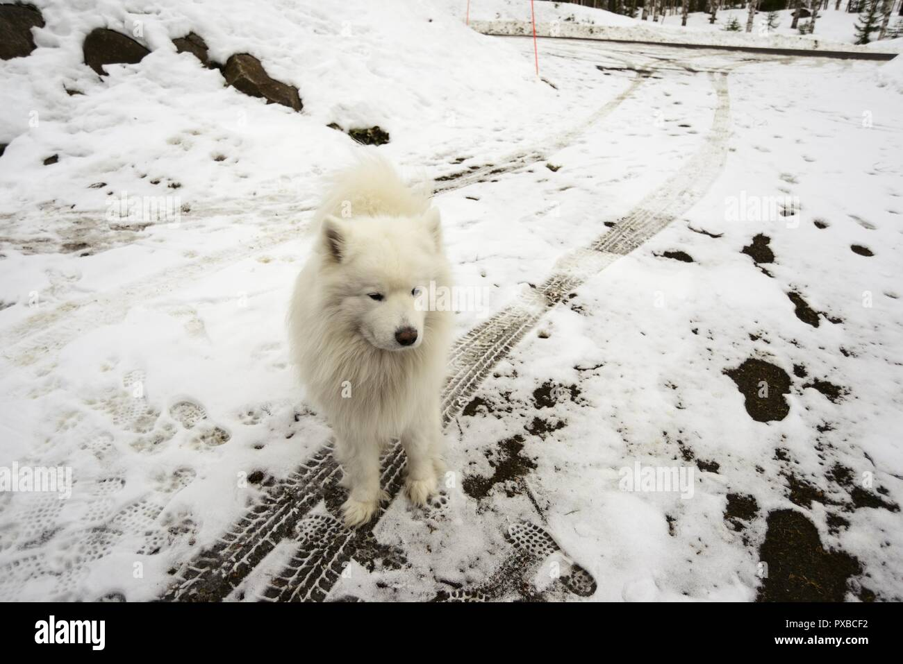 white dog on a snowy road, car tracks and footprints, deadpan photo - Stock Image