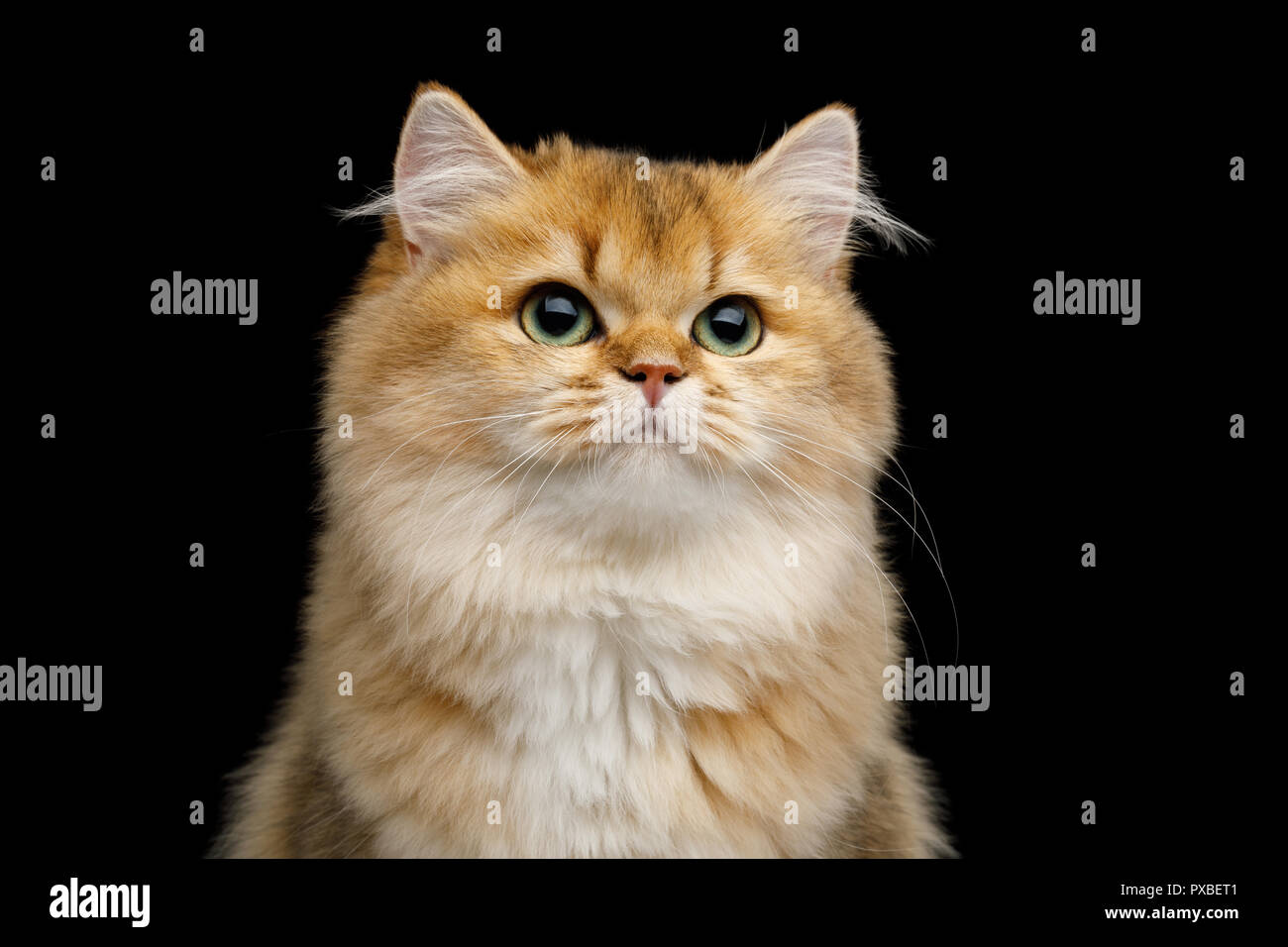 Portrait of British Cat Red color with Green eyes dreamily looks up on Isolated Black Background - Stock Image