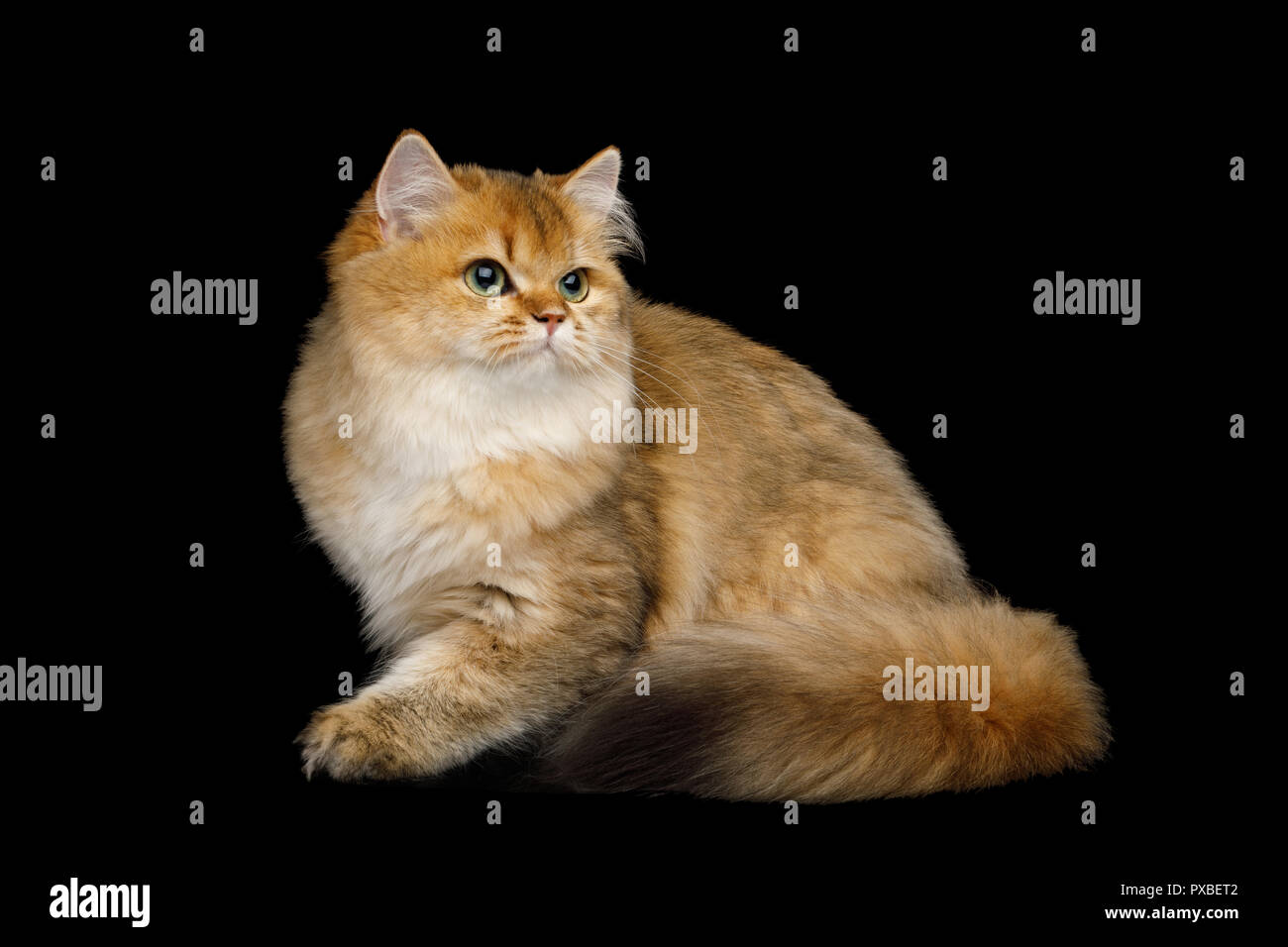 Playful British Cat Red color with Furry tail Sitting on Isolated Black Background - Stock Image