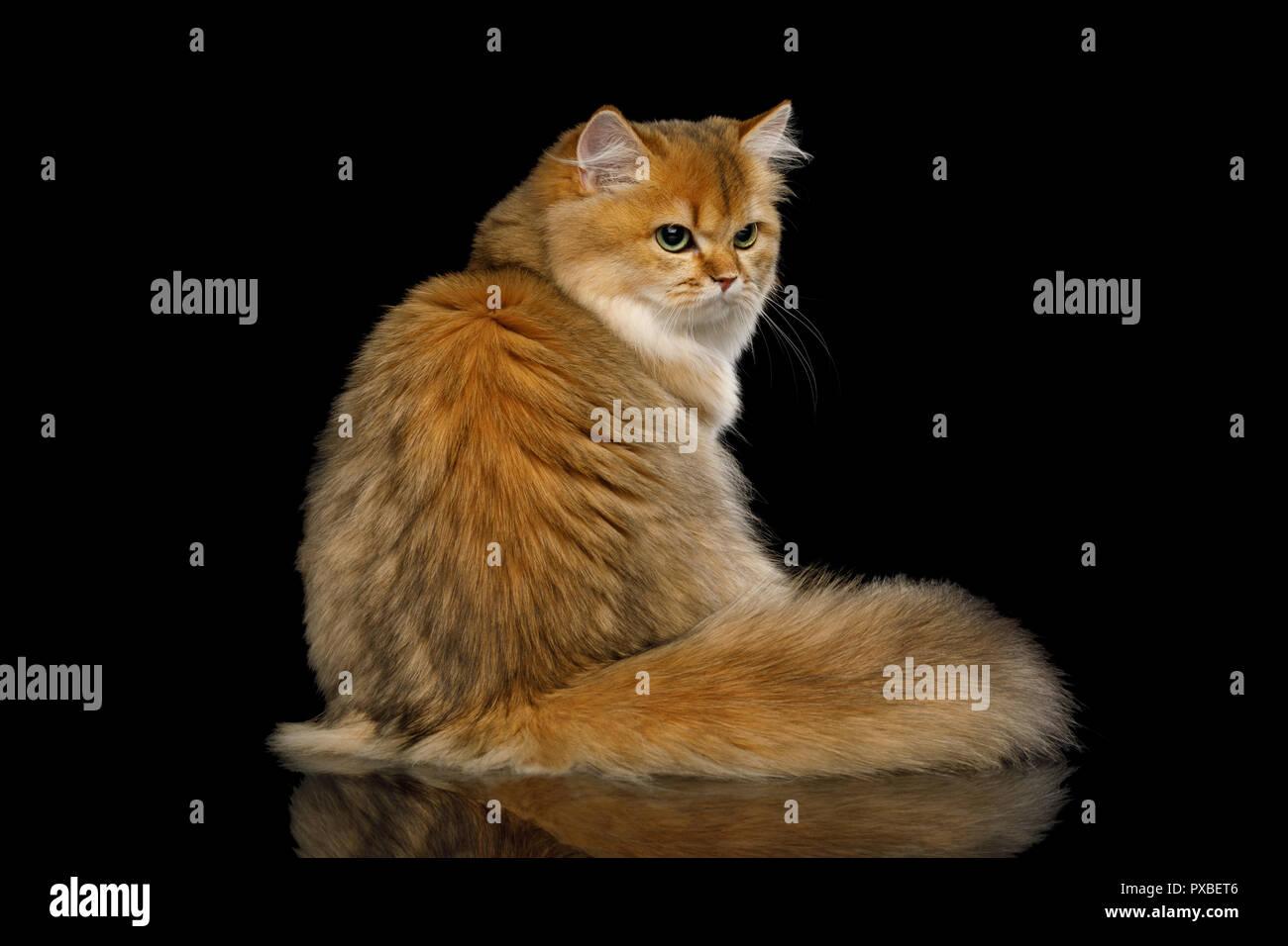 British Cat Red color with Furry tail Sitting and Looks offended on Isolated Black Background - Stock Image