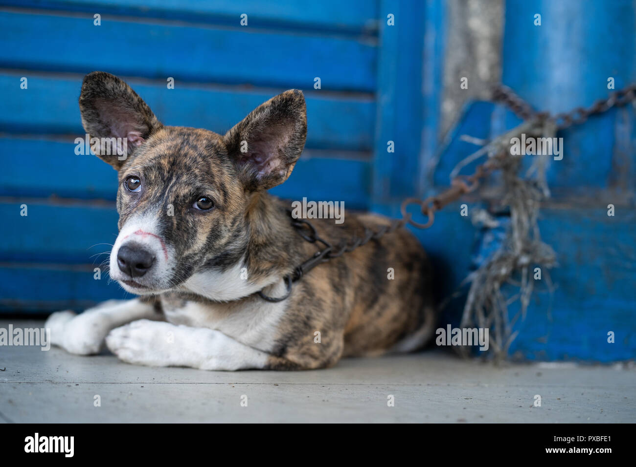 A dog lies on a street pavement with a short chain anchored to a post. - Stock Image
