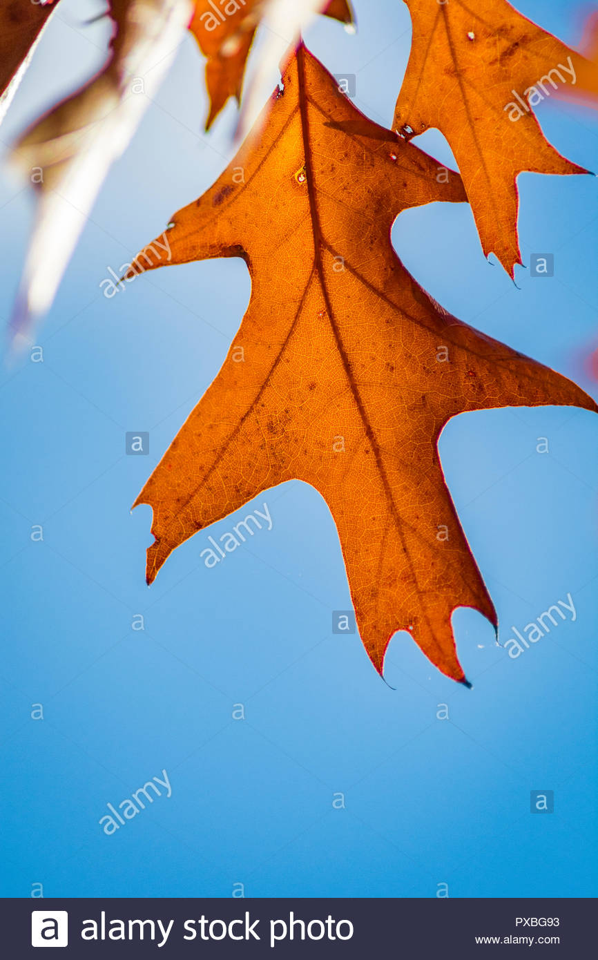 golden brown autumn leaves against a blue sky - Stock Image