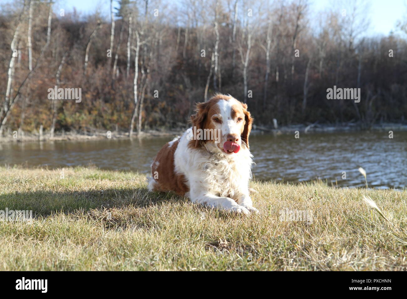 A beautiful fall picture with Rory the Brittney Spaniel licking his lips on a sunny fall day with clear skies in the green grass with a ripply pond.. Stock Photo