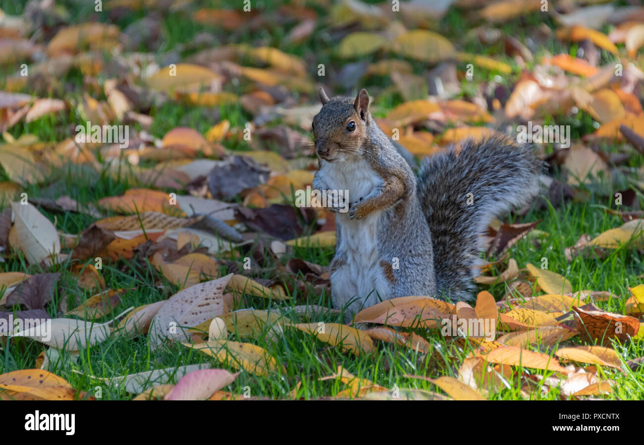 Grey Squirrel in autumn leaves Uk - Stock Image