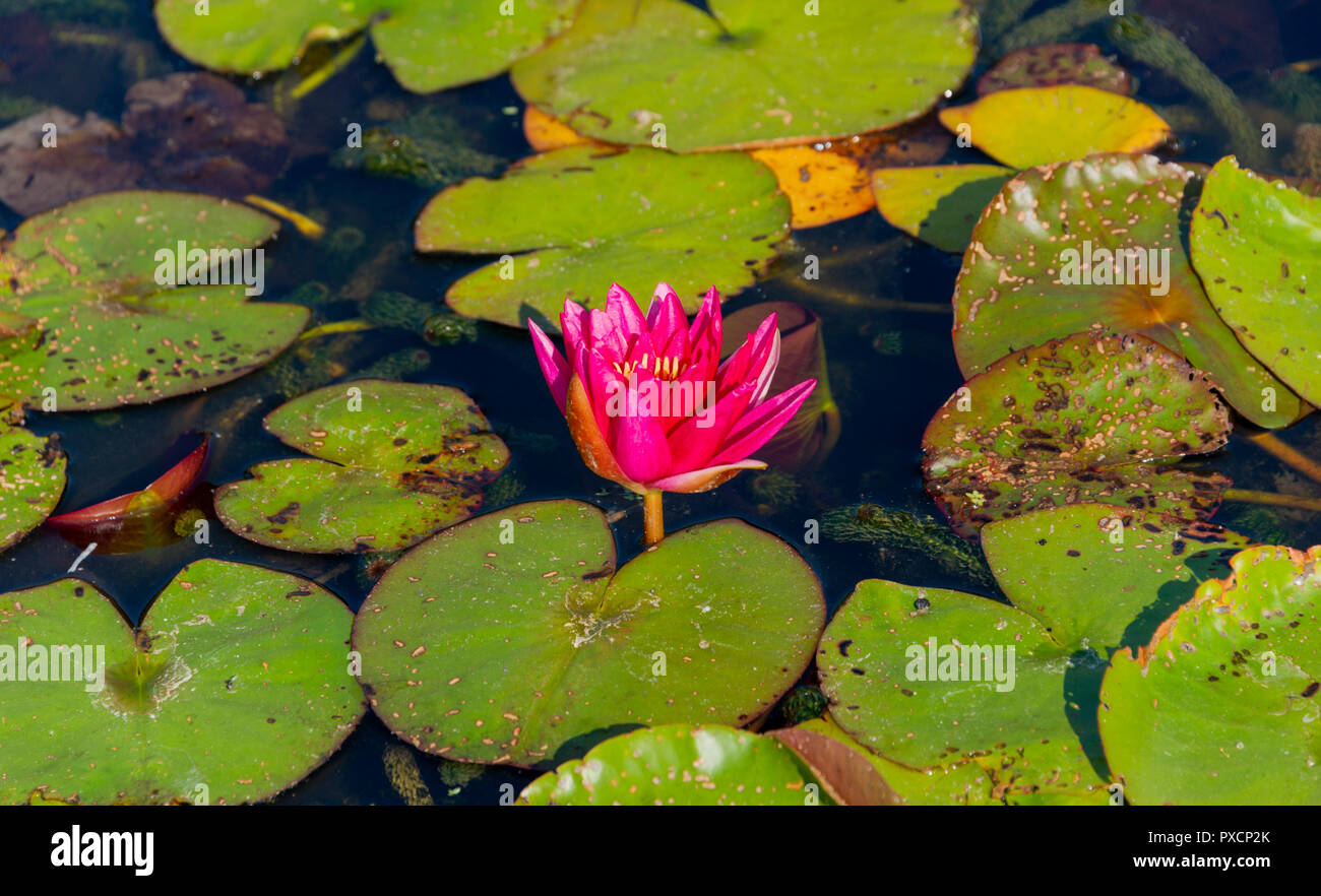Pink water lillies in a garden pond UK Stock Photo