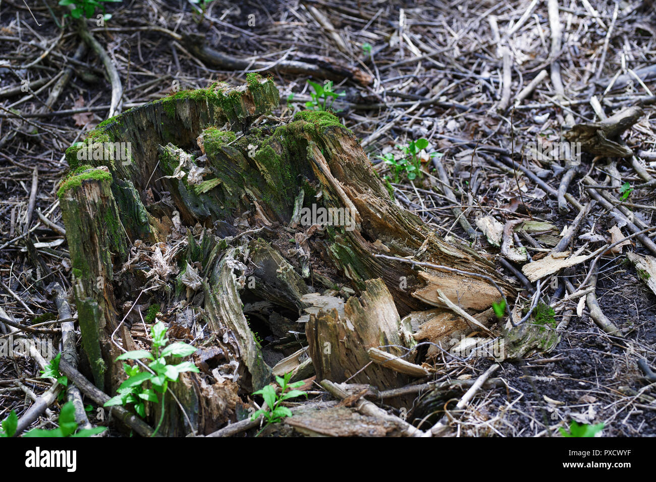 Close-up view on the tree stump with green moss - Stock Image