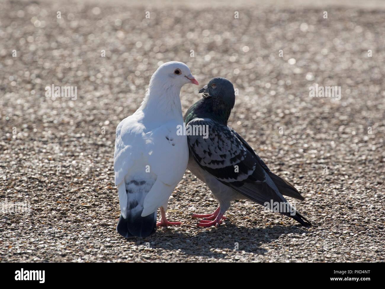 Feral Pigeons, Columba livia, pair courting.  Gloucestershire, UK. - Stock Image