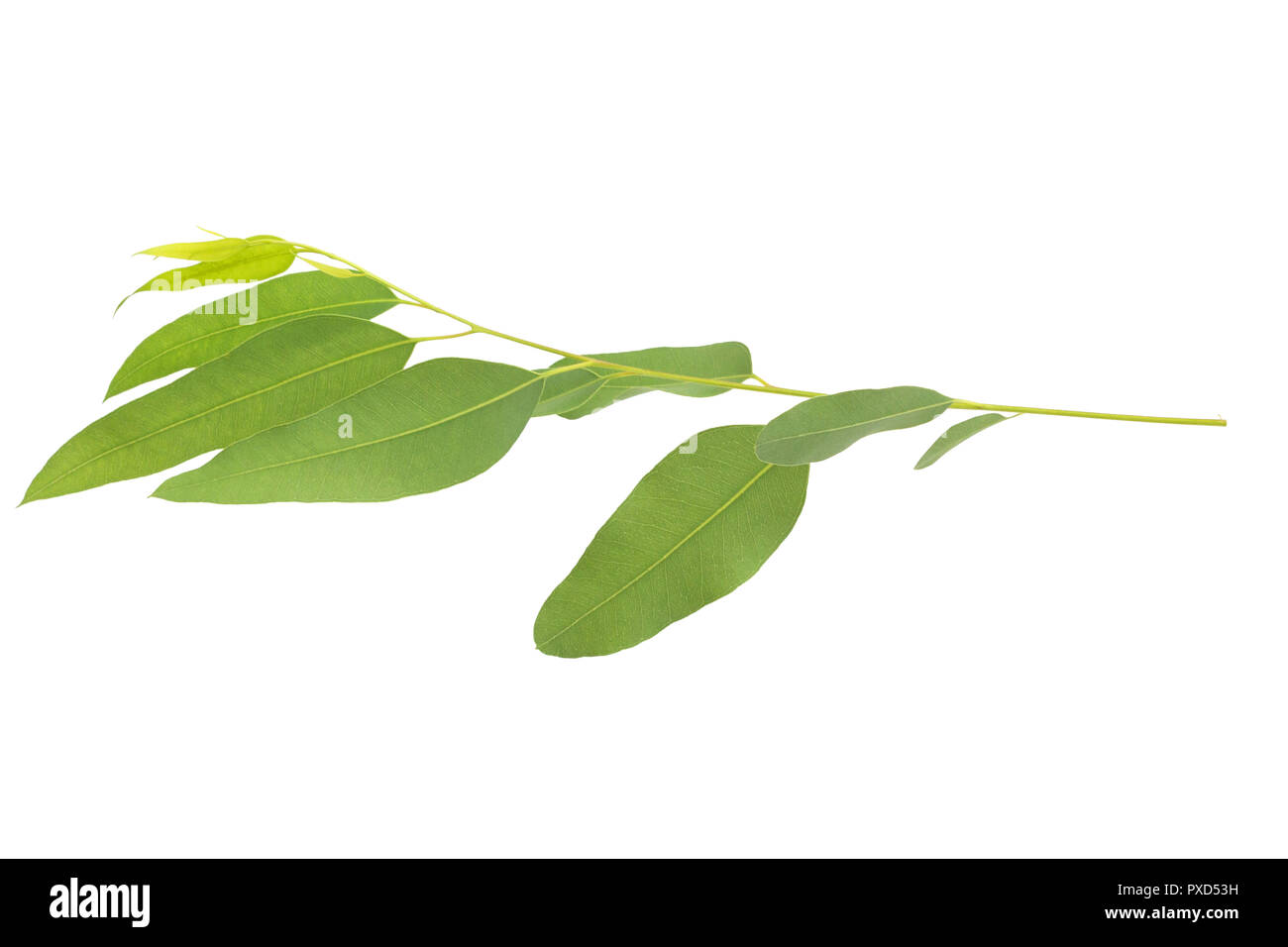 eucalyptus isolated on gray background with clipping path - Stock Image