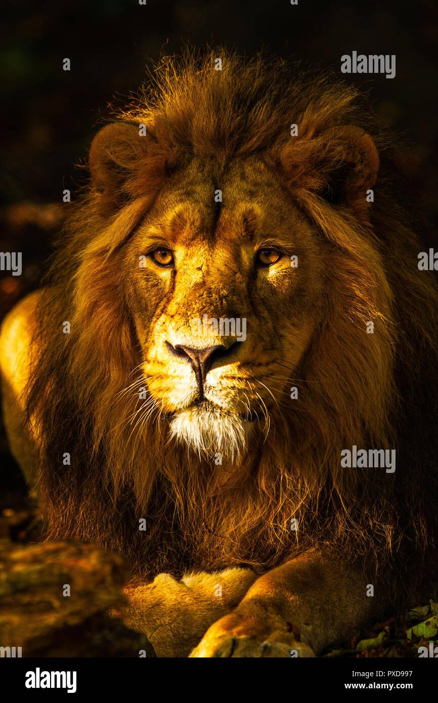 Golden Lion - Stock Image