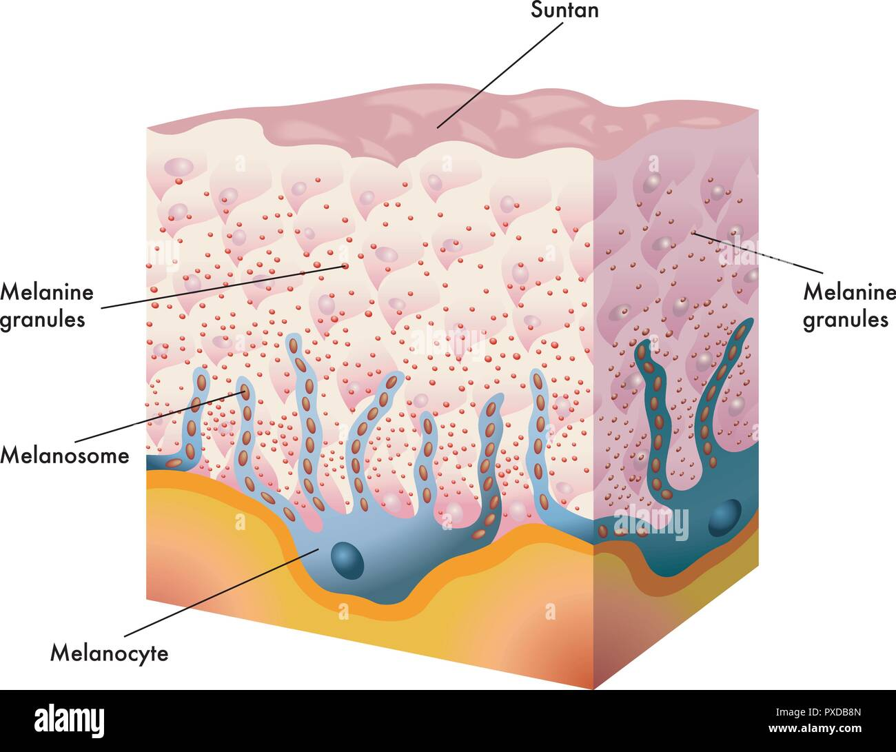 medical illustration of the formation process of tanning - Stock Vector