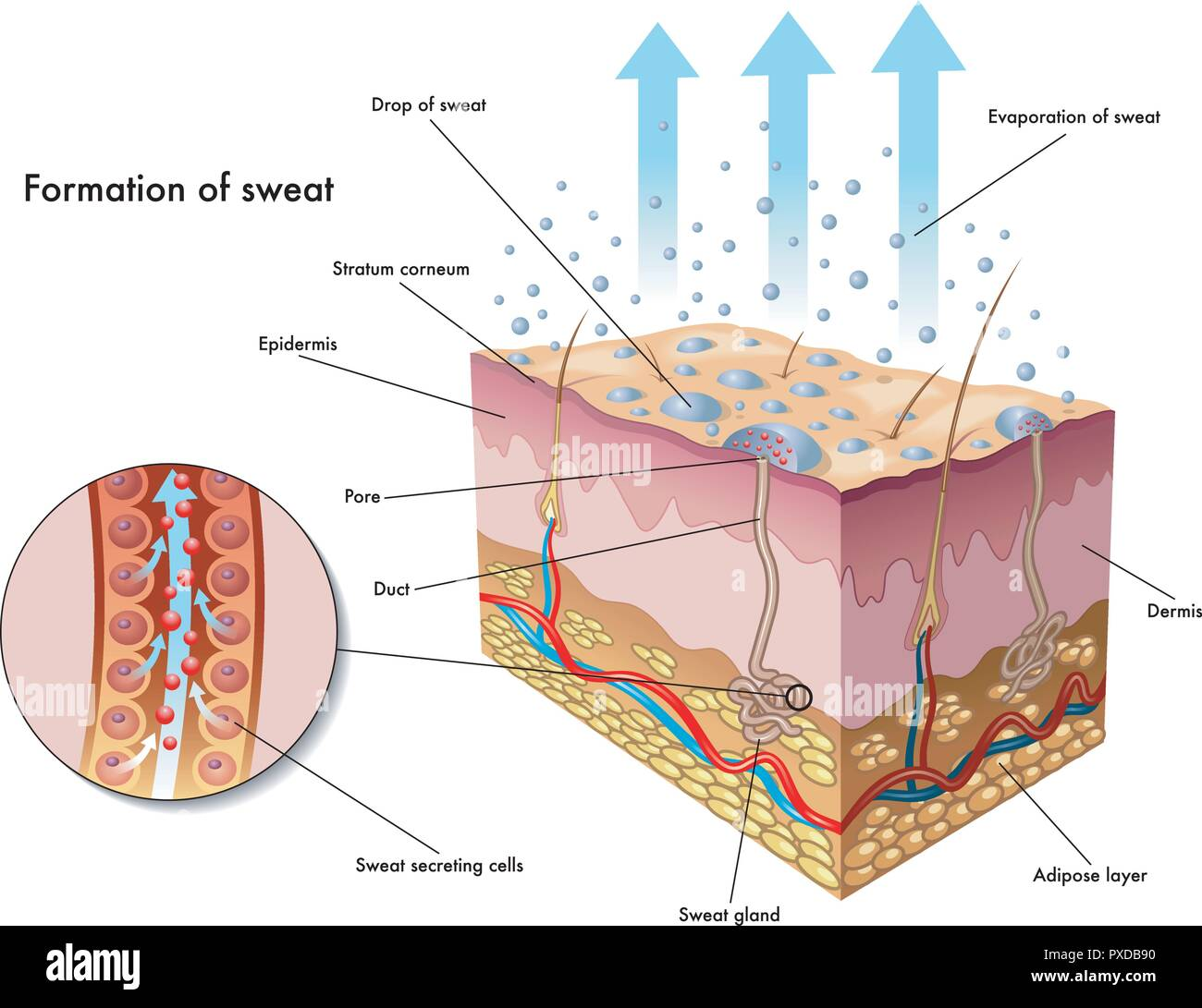 medical illustration of the formation of sweat - Stock Vector
