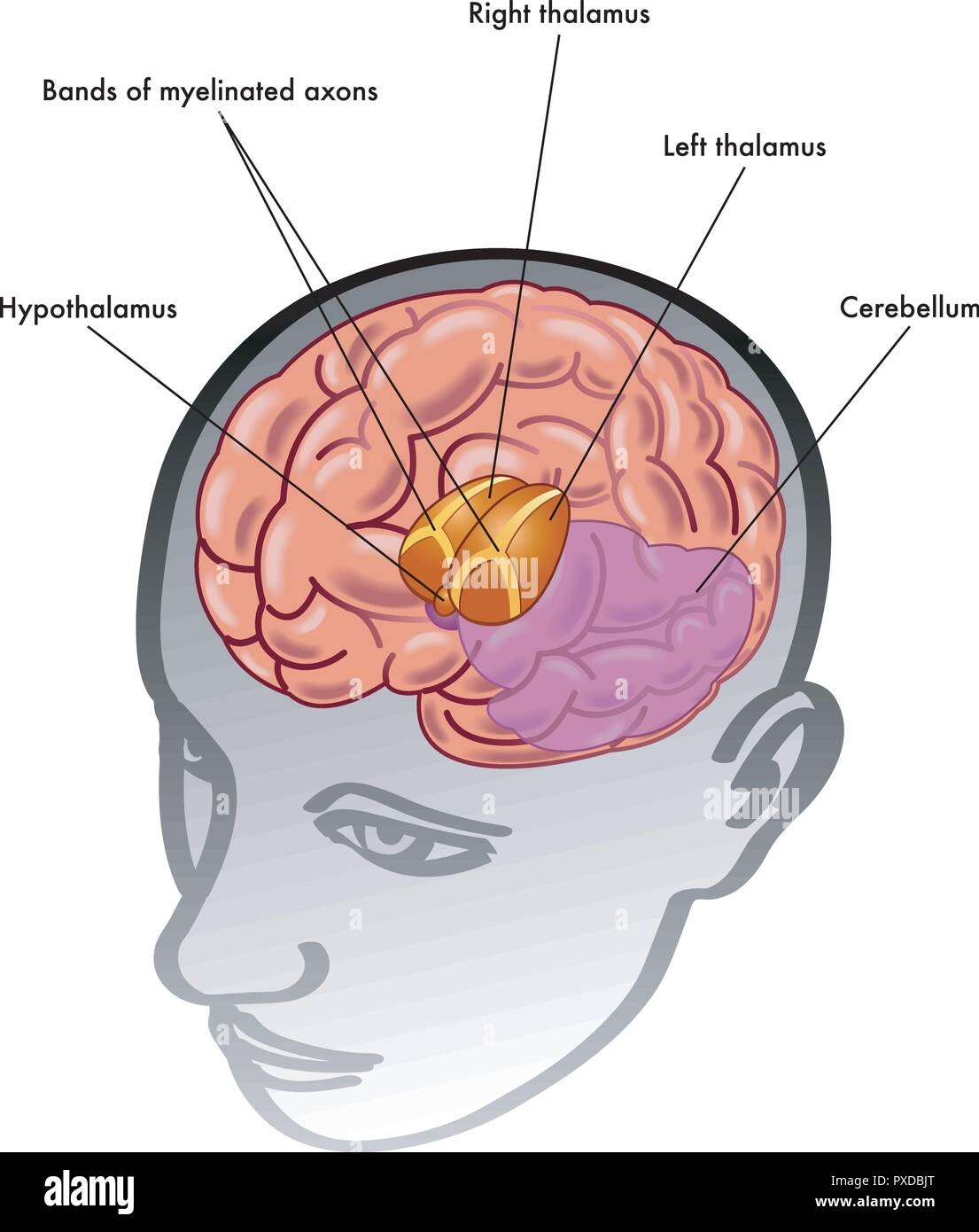 medical illustration of the thalamus and hypothalamus and their position inside the head - Stock Image