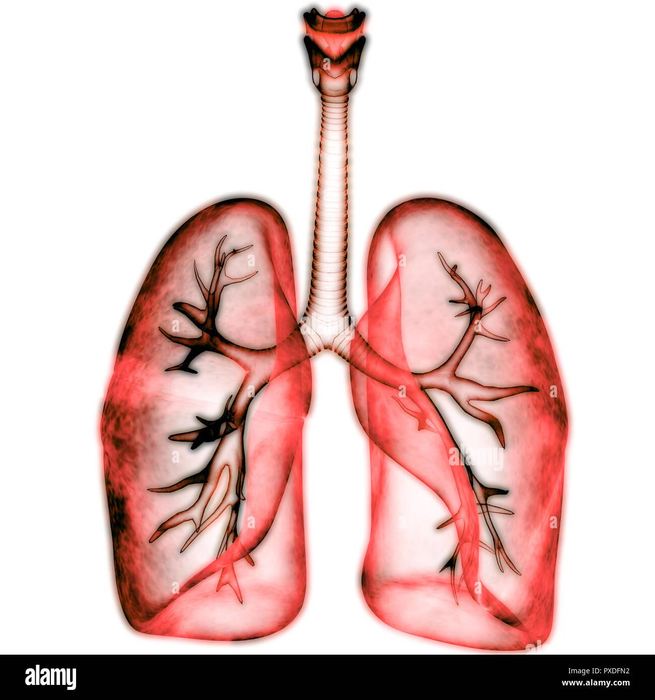 Human Respiratory System Lungs Anatomy Stock Photo 222803198 Alamy