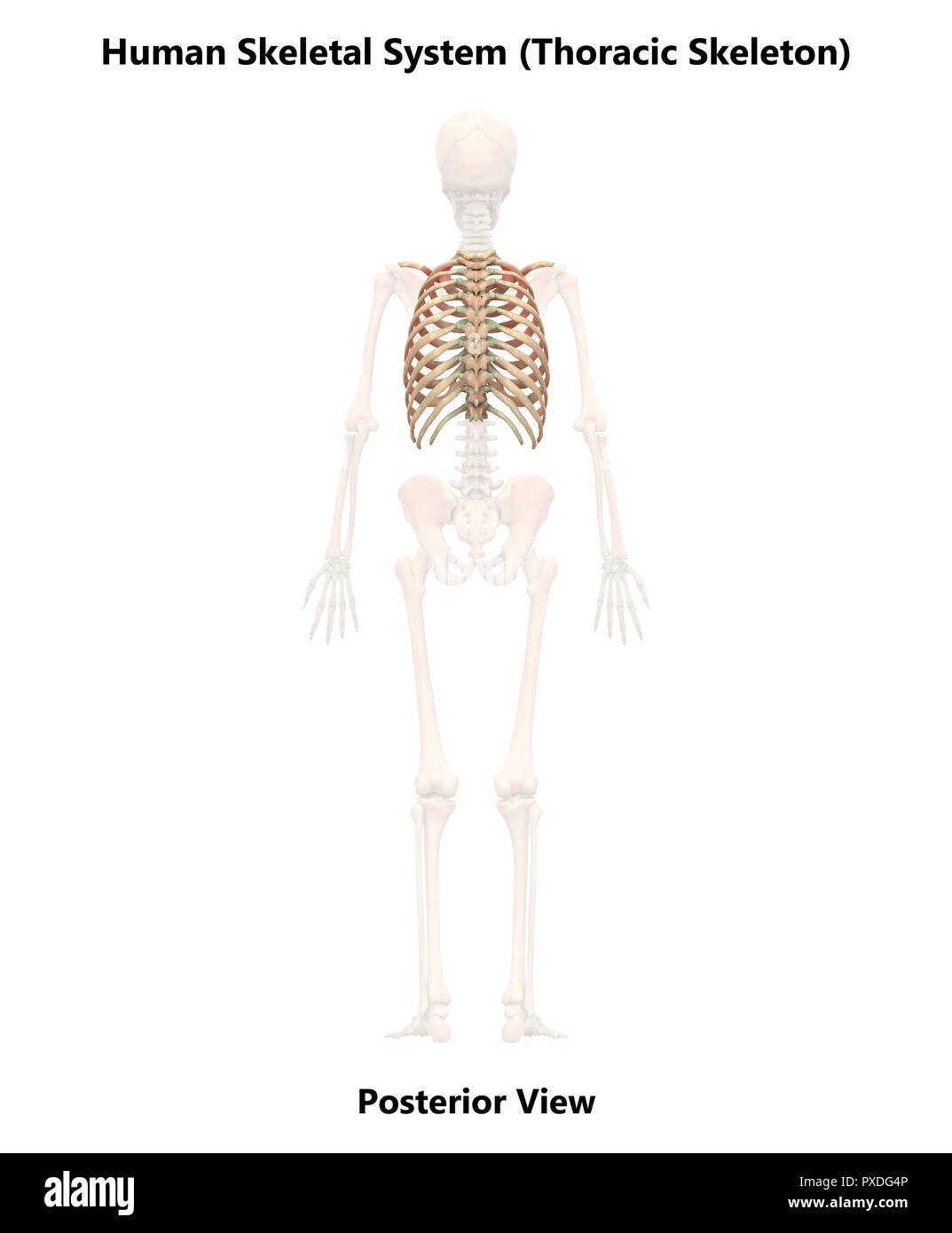Human Skeleton System Bones Posterior View Anatomy Stock Photo