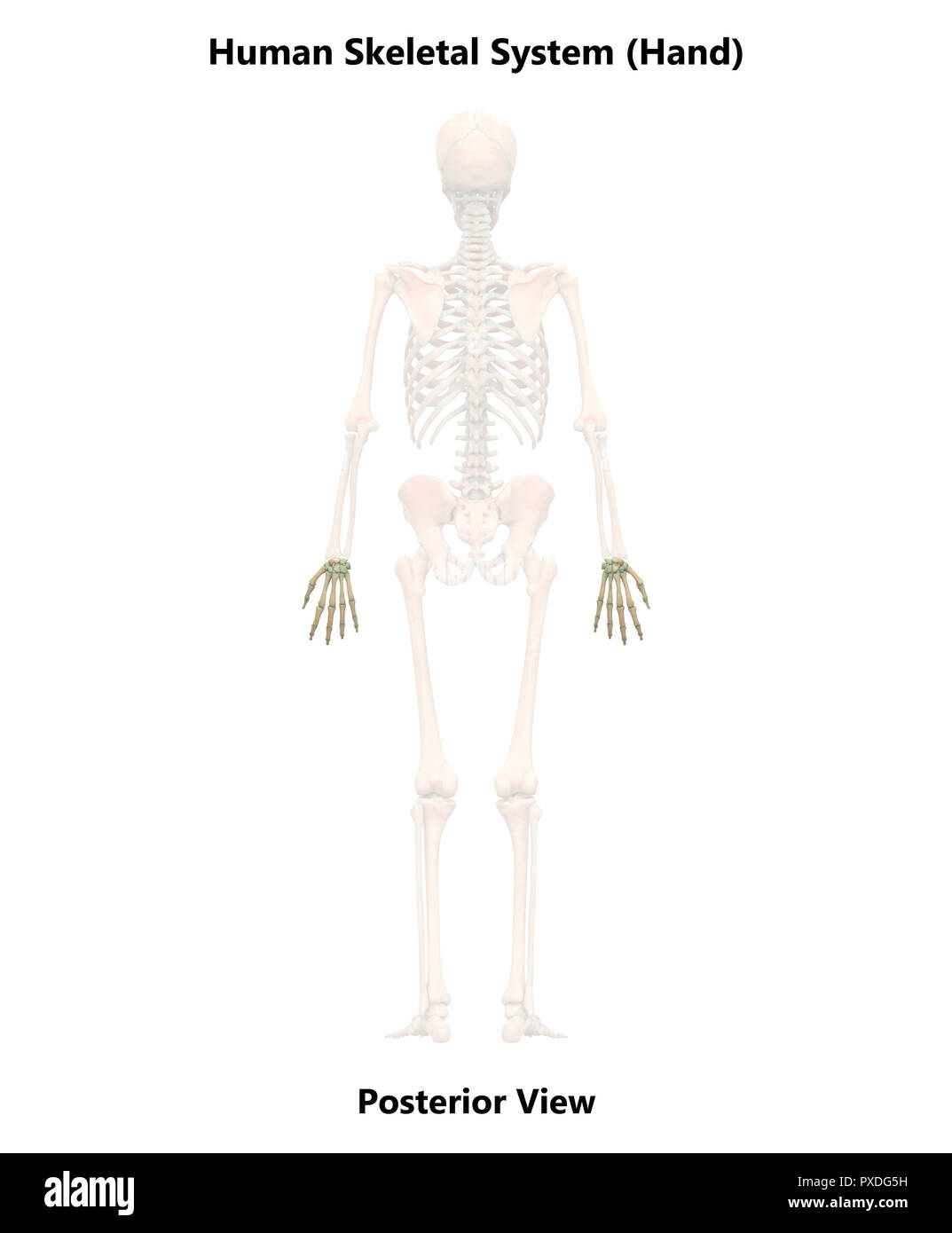 Posterior View Of Skeleton Stock Photos Posterior View Of Skeleton