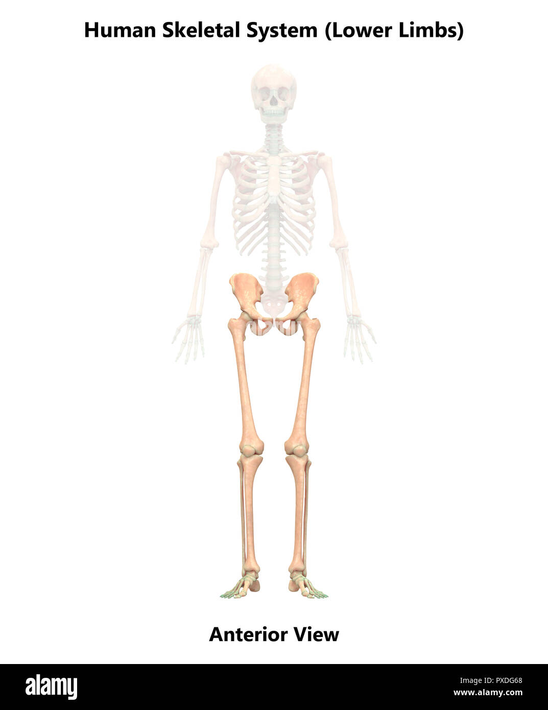 Human Skeleton Anterior View Stock Photos Human Skeleton Anterior