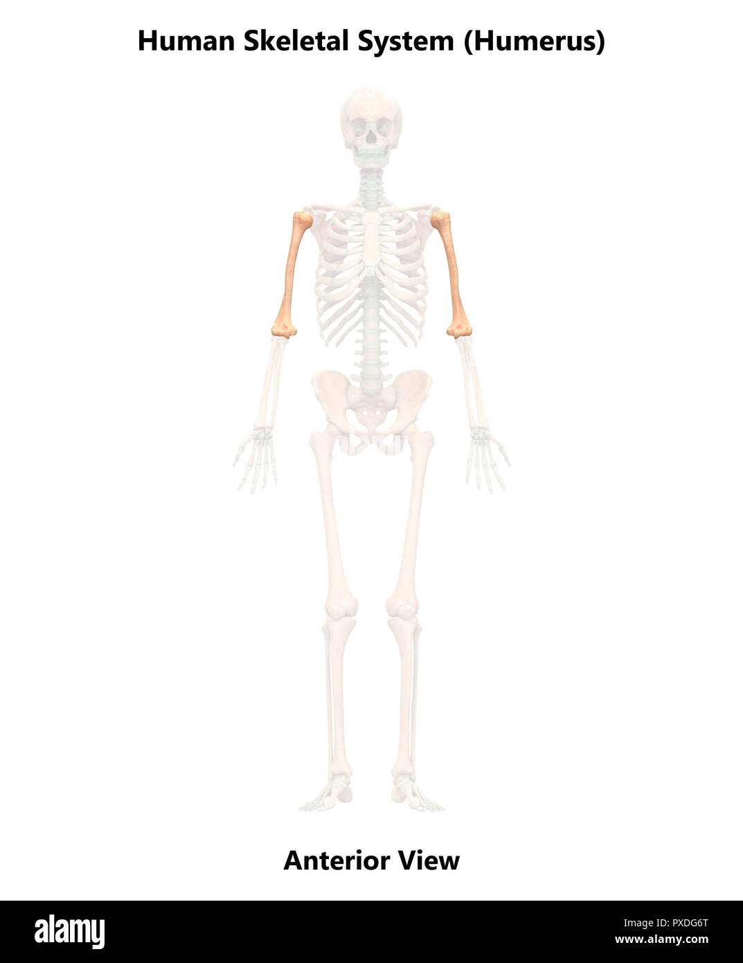 Human Skeleton System Bones Anterior View Anatomy - Stock Image