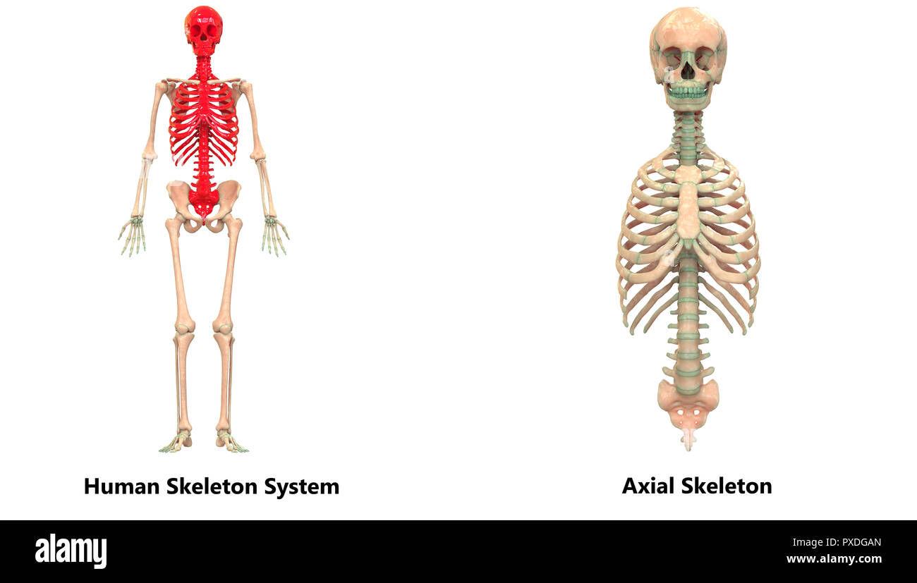 Human Skeleton System Appendicular and Axial Skeleton Anatomy - Stock Image