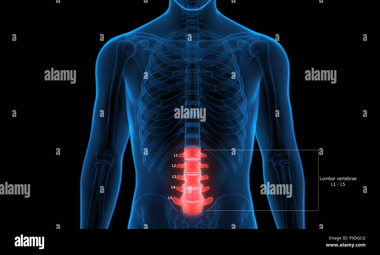 Human Skeleton System Vertebral Column Lumbar Vertebrae Anatomy - Stock Image