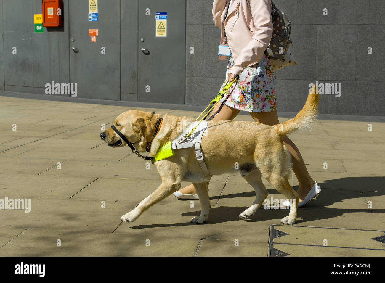 A female guide dog trainer walks a Golden Retriever outside on a sunny day, London, UK - Stock Image